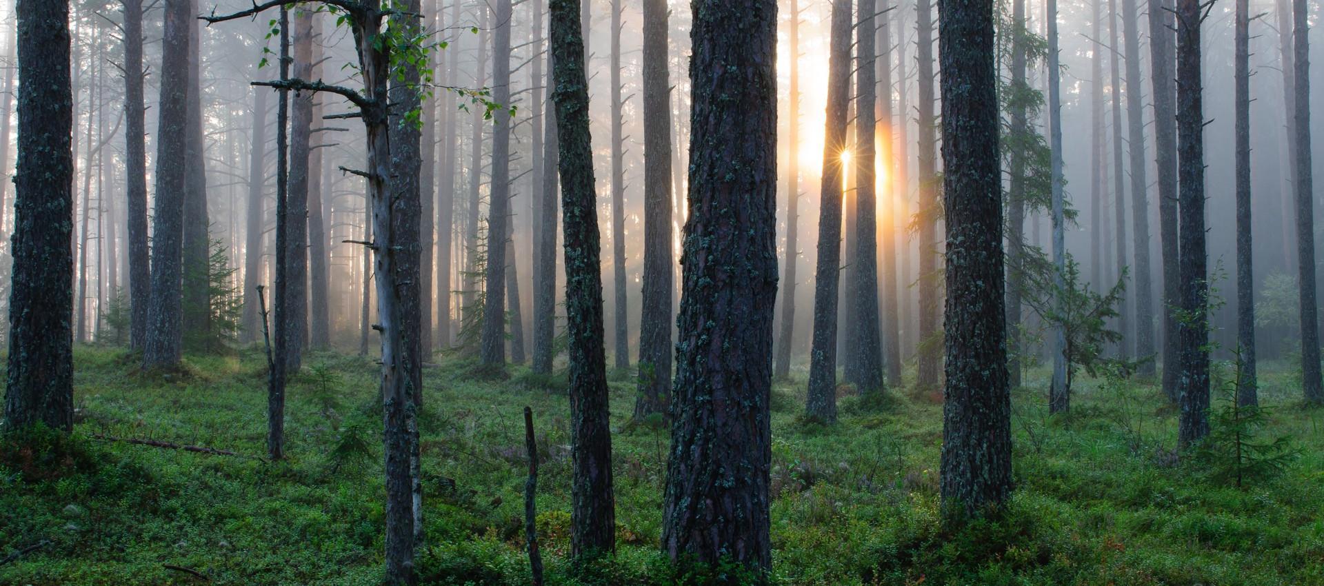 Kullman zistil, že vek stromu sa dá odhadnúť na neuveriteľných 9550.